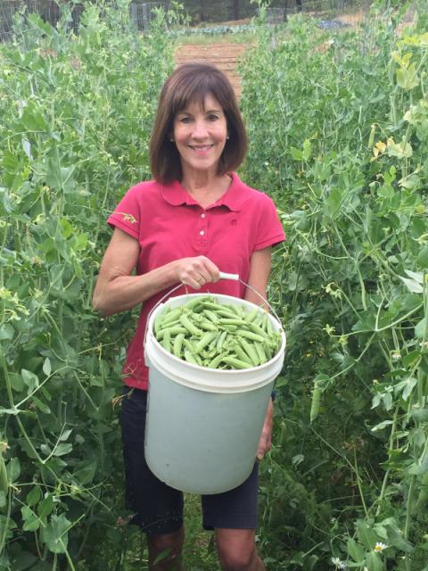Freshly picked peas on Tucker's farm