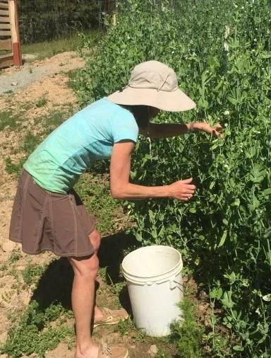 Helen Pyne picking peas