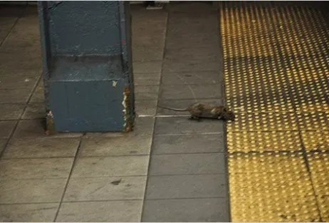I hate New York! Rats!